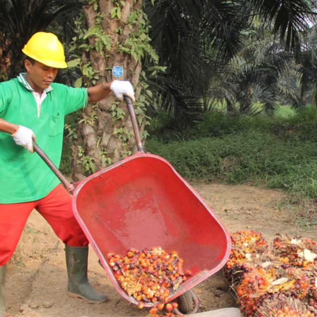 Palm Tree Harvesting